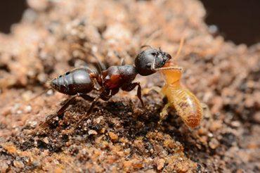 Rayap-Vs-Semut