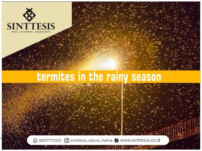 Ancaman Rayap di Musim Hujan